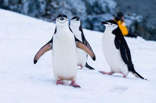 pinguino-crochet