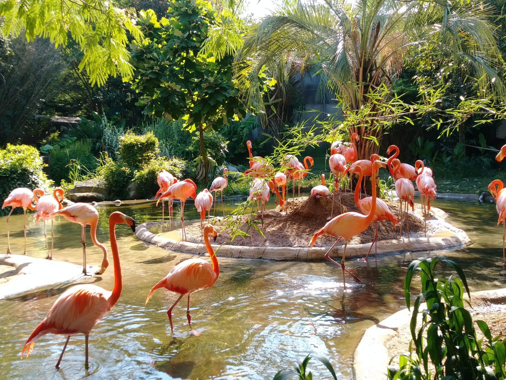 pink flamingos on pond surrounded with green plants in Columbia