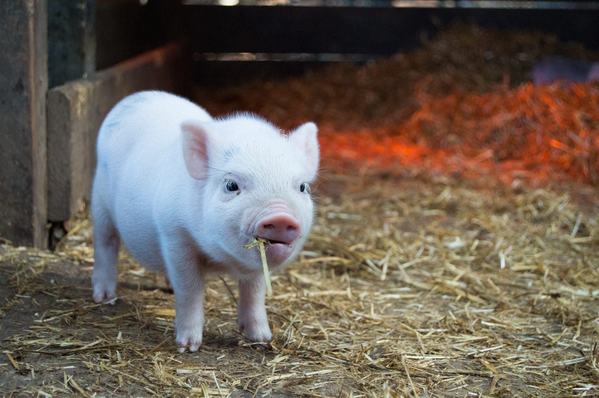 Tutorial Peppa Pig Amigurumi in English | Lanas y Ovillos in ... | 1362x2048